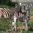 Stock Photo: Young Wild Zebras