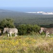 Zebras at the Coast — Stock Photo