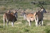 Eland Antelope — Stock Photo