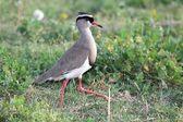 Gekroond plover vogel — Stockfoto