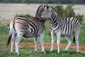 Burchells or Plains Zebra — Stock Photo