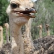 Ostriches — Stock Photo #7566838