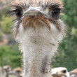 Funny Ostrich Portrait — Stock Photo