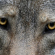 Stock Photo: Wolf Eyes