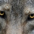 Royalty-Free Stock Photo: Wolf Eyes
