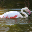 Stock Photo: Pink Flamingo Bathing