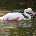 Pink Flamingo Bathing — Stock Photo