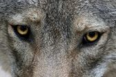 Wolf Eyes — Stock Photo