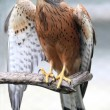 Rock Kestrel Bird — Stock Photo