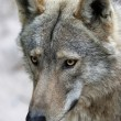 Timber Wolf Portrait — Stock Photo