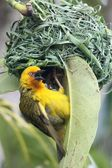 Weaver Bird at Nest — Stock Photo