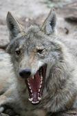 Timber Wolf Yawn — Stock Photo