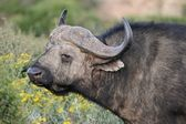 Kaapse buffels — Stockfoto