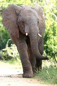 African Elephant Walking — Stock Photo