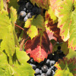 Red grapes in a vineyard - Stock Photo