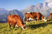 Alpine koe — Stockfoto