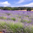 Lavender in the landscape — Stockfoto