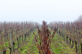 Vineyard in the mist — Stock Photo