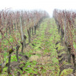Stock Photo: Vineyard in mist