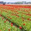 Red tulip field - Stock Photo