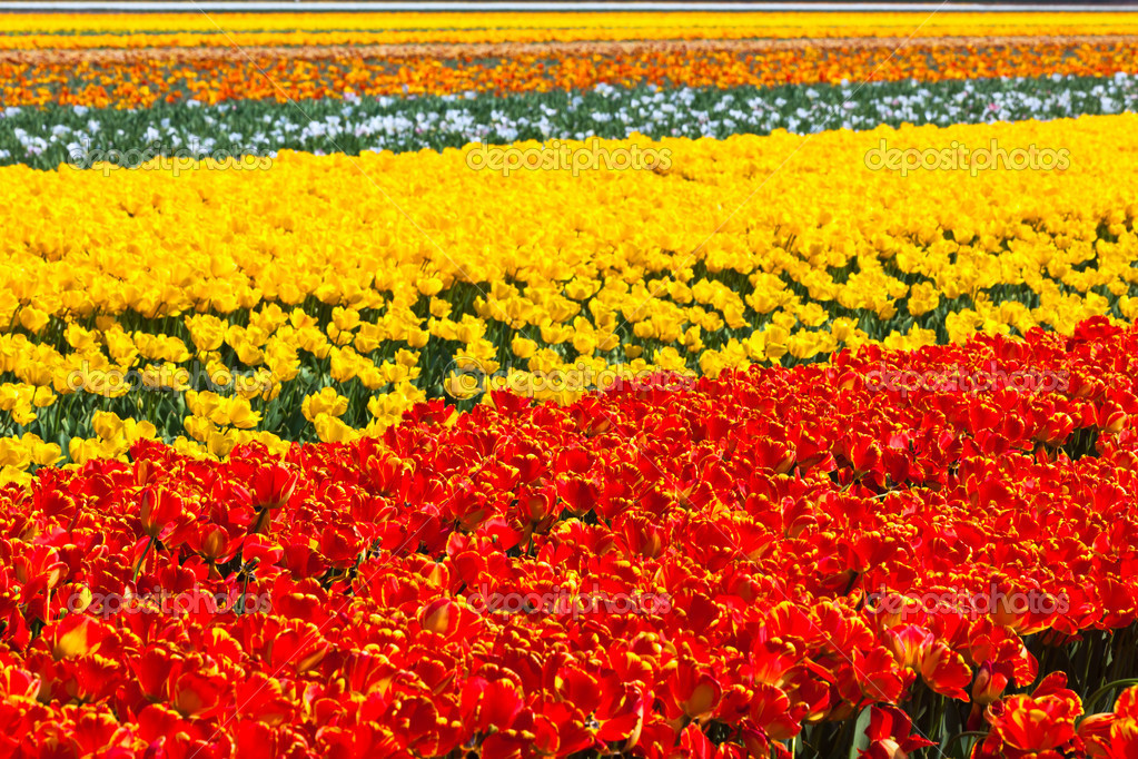 Multicolored tulip field in holland. Horizontal shot — Stock Photo #7091523