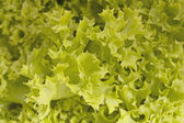 Green lettuce — Foto de Stock
