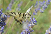 Gul tiger swallowtail butterfly — Stockfoto