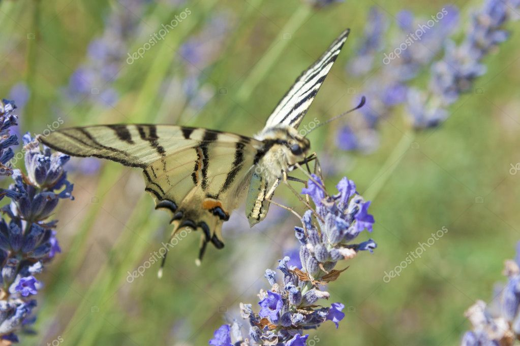 Beautiful Yellow Tiger Swallowtail Butterfly sitting on the flower  — Stock Photo #6800713