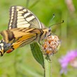 Stock Photo: Yellow Tiger Swallowtail Butterfly