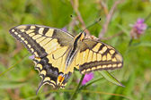 Yellow Tiger Swallowtail Butterfly — Stock Photo