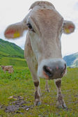 Austrian cow grazing in an alpine meadow — Stock Photo