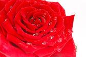 Schöne rote Rose — Stockfoto