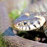 Funny grass snake — Stock Photo