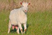 Funny goat — Stock Photo