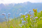 Blue flowers from Alps — Stock Photo