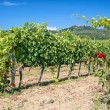 Tuscany vineyard — Stock Photo #7685578