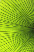 Palm Leaf — Photo