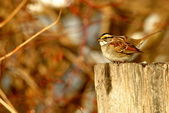 White Throated Sparrow — Stock Photo