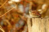 White Throated Sparrow — Stock Photo