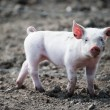 Cute happy baby pig — Stock Photo