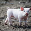 Stock Photo: Cute happy baby pig