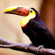 ������, ������: Chestnut mandibled Toucan