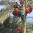 Man harvesting dates from palm tree — Stock Photo
