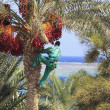 Man harvesting dates from palm tree — Stock Photo #6933170