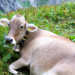 Brown lying cow with bell — Stock Photo #6768583