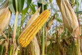 Cob of corn on cornfield — Stock Photo