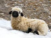 Blacknose lamb lying — Zdjęcie stockowe