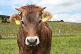 Primer plano de vaca marrón — Foto de Stock