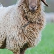Stock Photo: Long haired sheep portrait