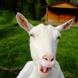 White goat complains - Stock Photo